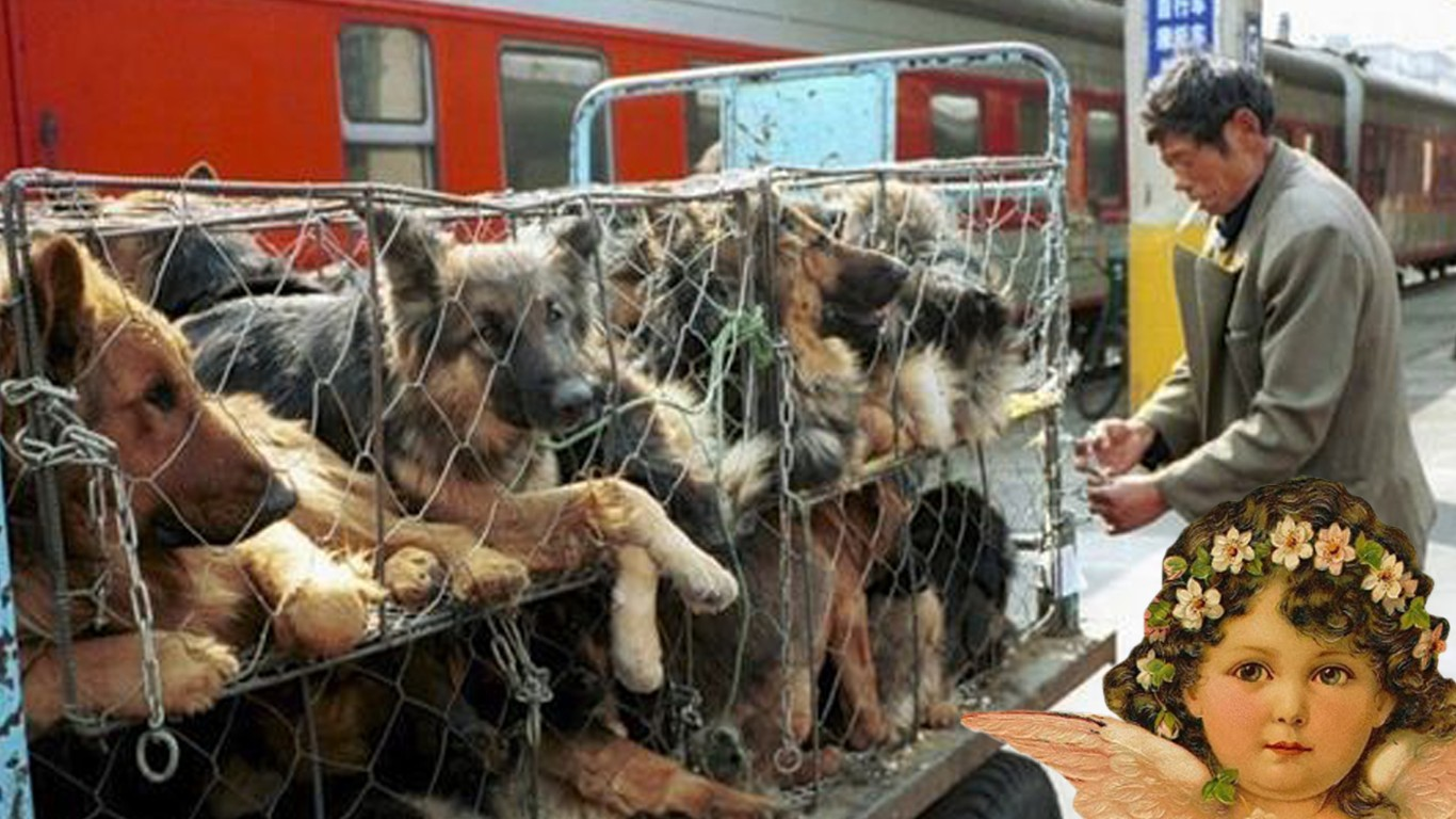 China: Dogs loaded up in cages and shipped to restaurants for food each day!