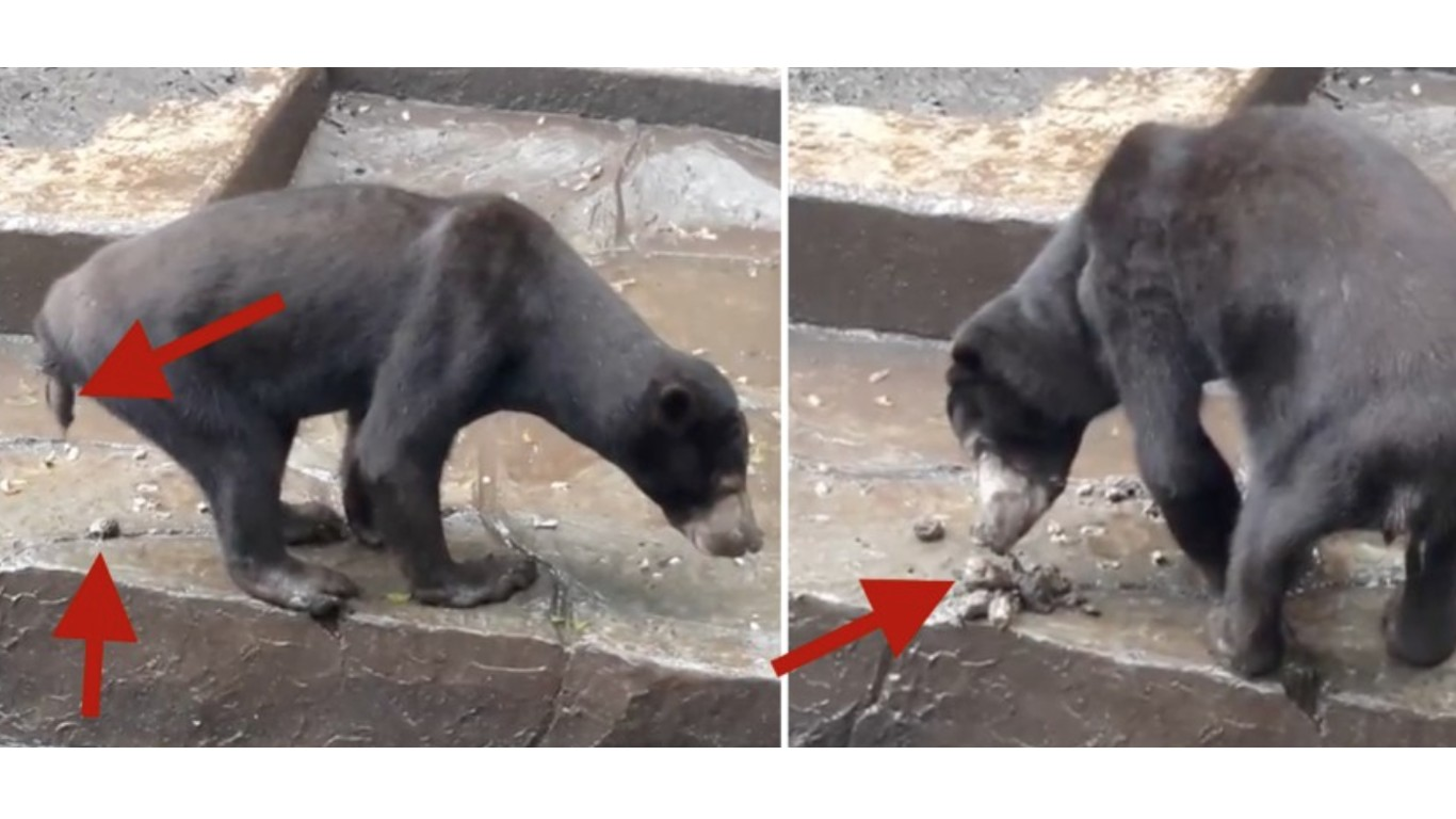 Close zoo where starving sun bears are eating their own waste to survive!