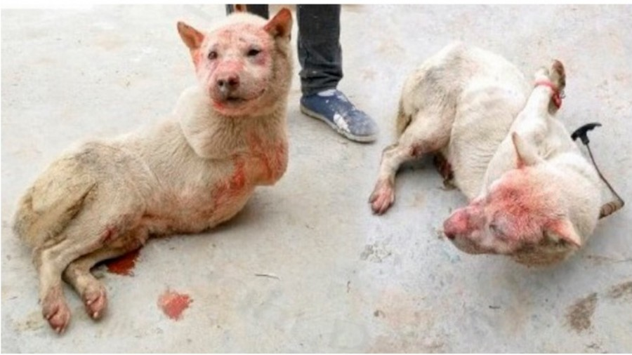 China - Dogs are immobilized before being skinned alive and cooked! Help stop the dog meat trade!