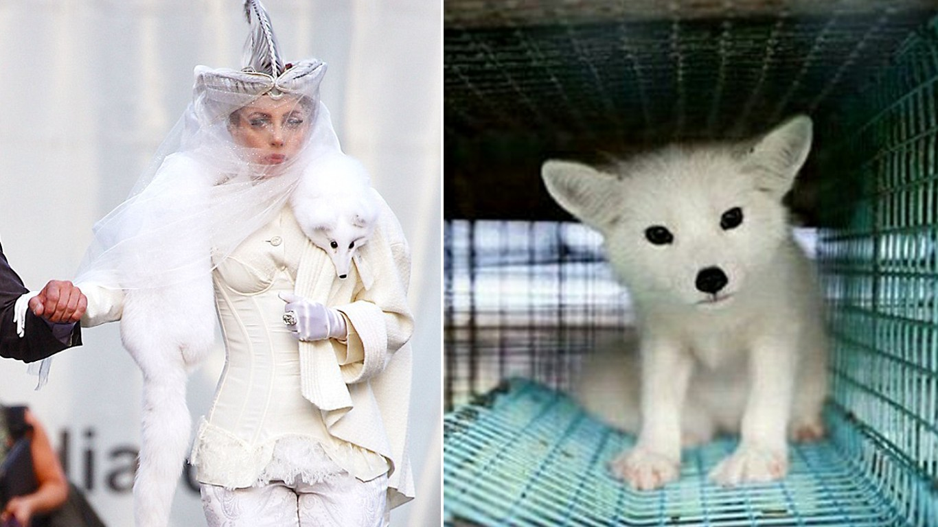 FAKE: 7 month baby fox skinned for Gaga - True?