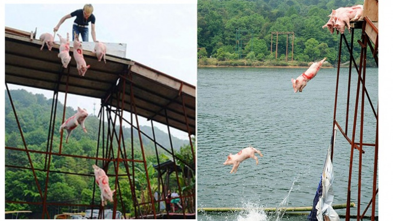Countless pigs sent flying off a bridge in sick contest held in China!