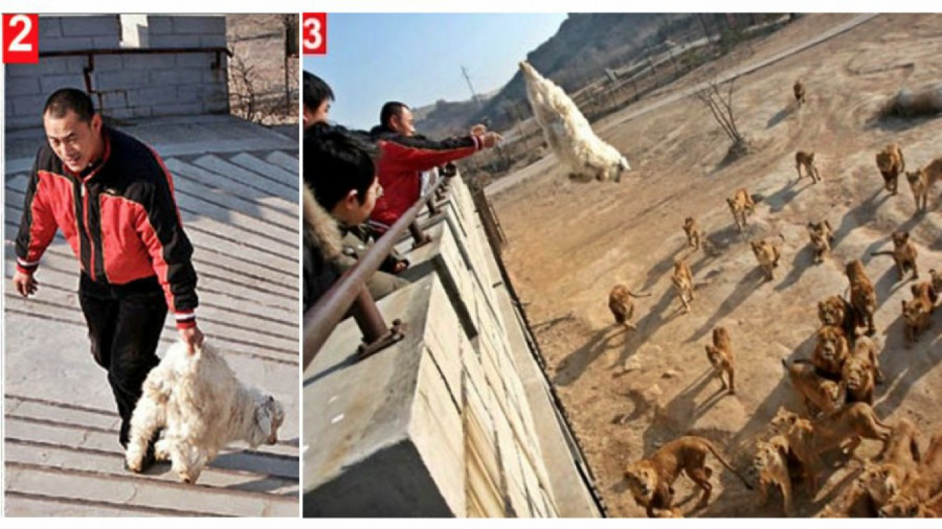 Prevent Chinese zoo from feeding live animals to hungry lions!