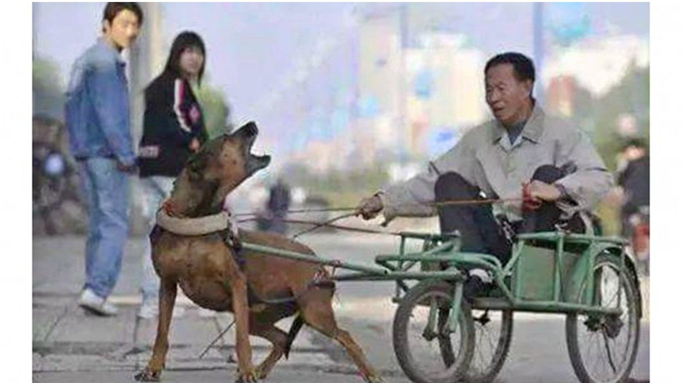 Dog-drawn carriages – the latest cruelty in China!