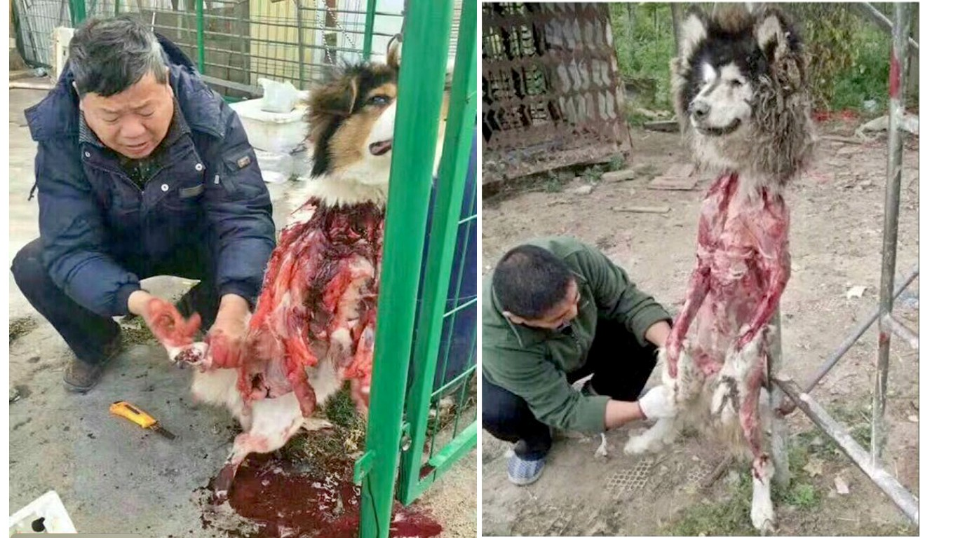 Dogs being skinned alive in China